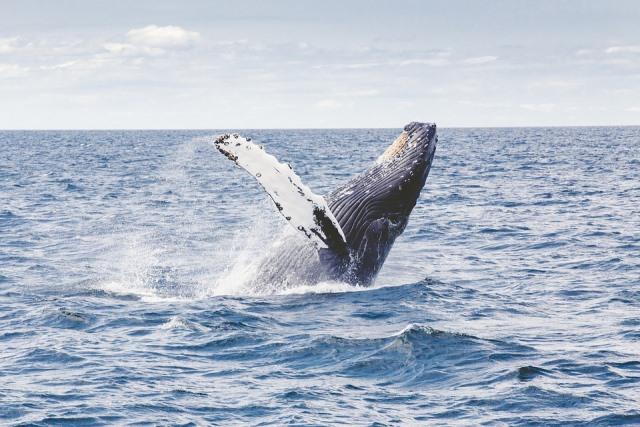 Baleines à bosse en Dominique: