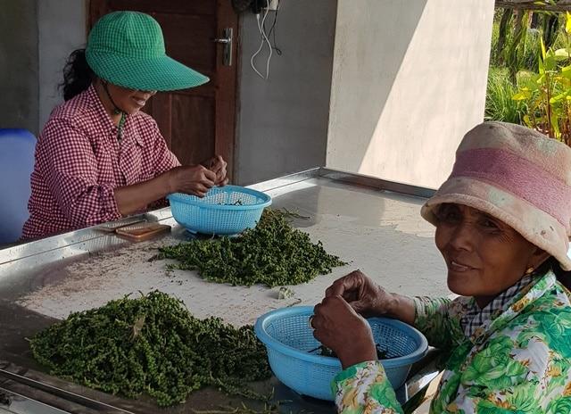 Kampot et les plantations de poivre: